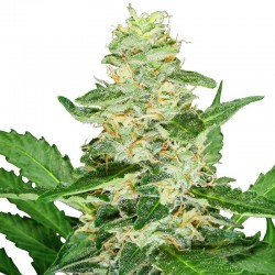 Auto Super Skunk - Bulk Cannabis Seeds