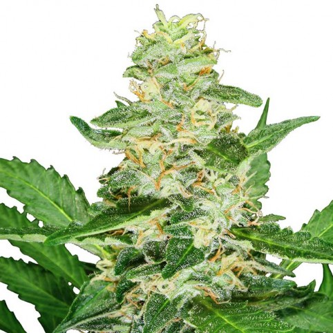 Auto Super Skunk - Bulk Cannabis Seeds
