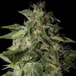 Afgooey Cannabis Seeds