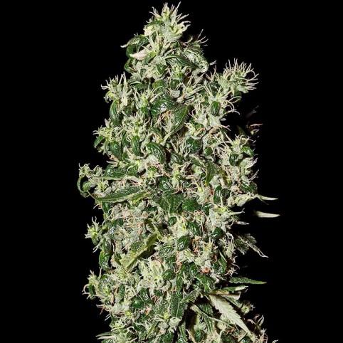 Big Tooth - Marijuana Seeds