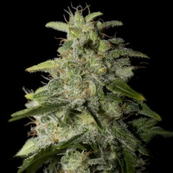 Money Maker - Cannabis Seeds