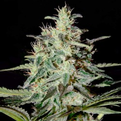 White Lemon Cannabis Seeds
