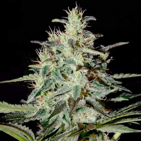 White Lemon - Cannabis Seeds