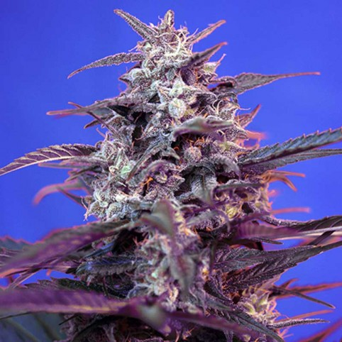 Bloody Skunk Auto Sweet Seeds