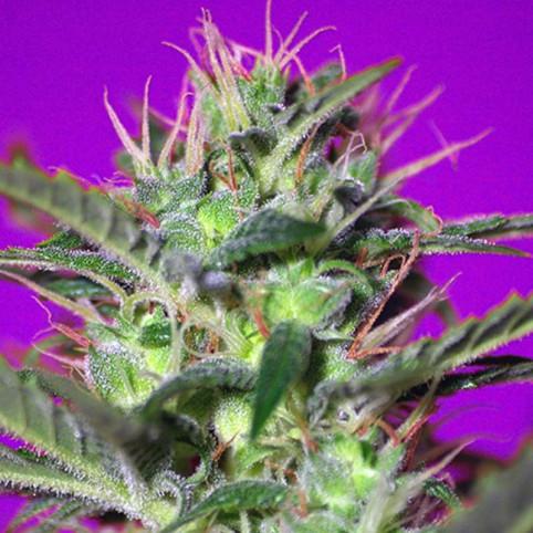 Botafumeiros Sweet Seeds
