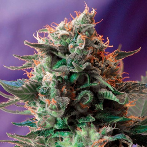 Jack 47 Sweet Seeds
