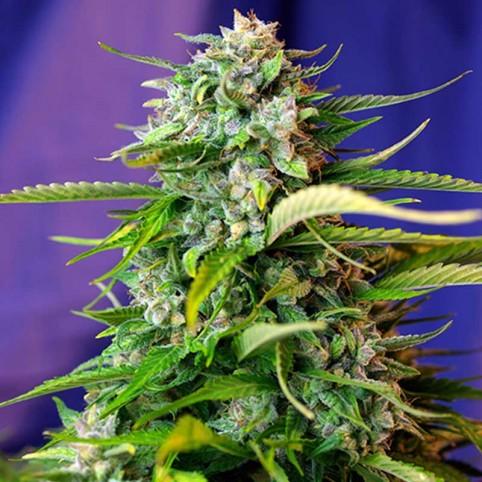 Auto Jack 47 Sweet Seeds