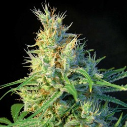 Psicodelicia Sweet Seeds