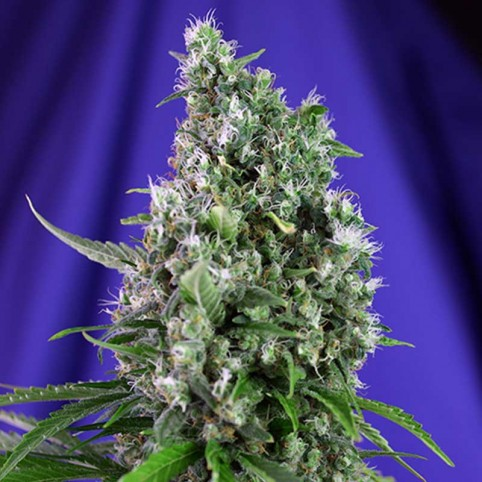 Sweet Trainwreck Auto Sweet Seeds