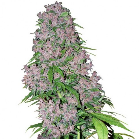 Purple Bud - Cannabis Seeds