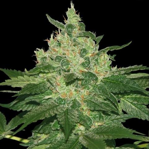 Afghan Kush Cannabis Seeds
