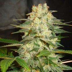 Afghan Kush Ryder Cannabis Seeds