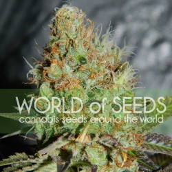 Afghan Kush Special Cannabis Seeds