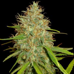 Afghan Kush x Black Domina Cannabis Seeds