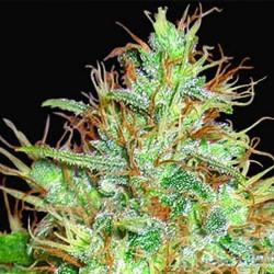 Afghan Kush x Skunk Cannabis Seeds