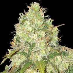 Afghan Kush x Yumbolt Cannabis Seeds