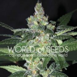 Amnesia Cannabis Seeds