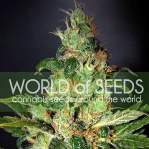 Chronic Haze Cannabis Seeds