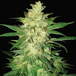 Sweet Coffee Ryder Cannabis Seeds