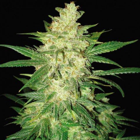 Sweet Coffee Ryder Cannabis Seeds