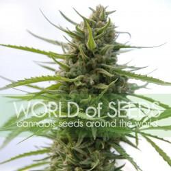Kilimanjaro Cannabis Seeds