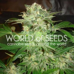 Mazar Kush Cannabis Seeds