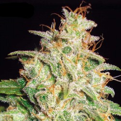 Mazar x White Rhino Cannabis Seeds