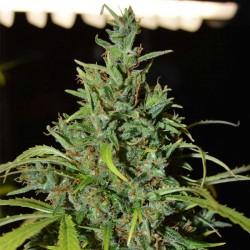 Neville  Haze Auto Cannabis Seeds
