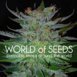New York 47 Cannabis Seeds