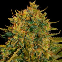 Northern Lights x Big Bud Auto Cannabis Seeds