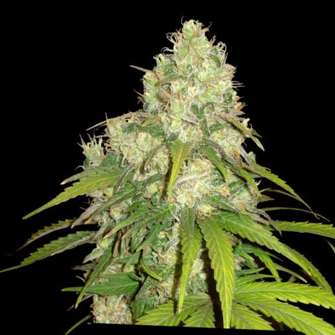 Northern Lights x Skunk Cannabis Seeds