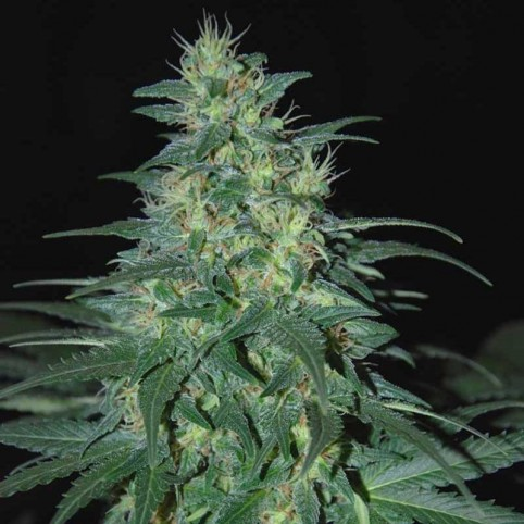 South African Kwazulu Cannabis Seeds