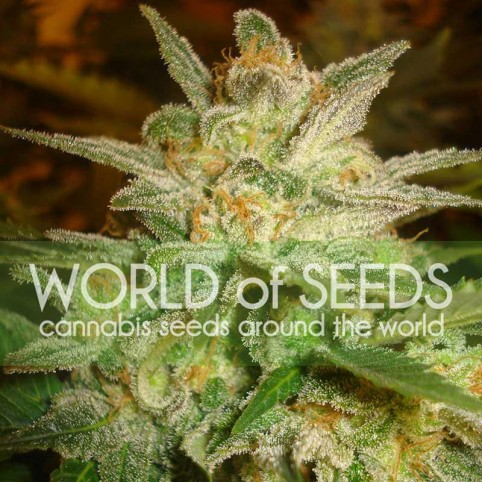 Star 47 Cannabis Seeds