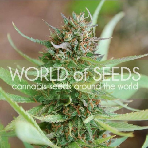 Strawberry Blue Cannabis Seeds