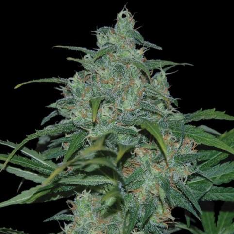 Wild Thailand Cannabis Seeds