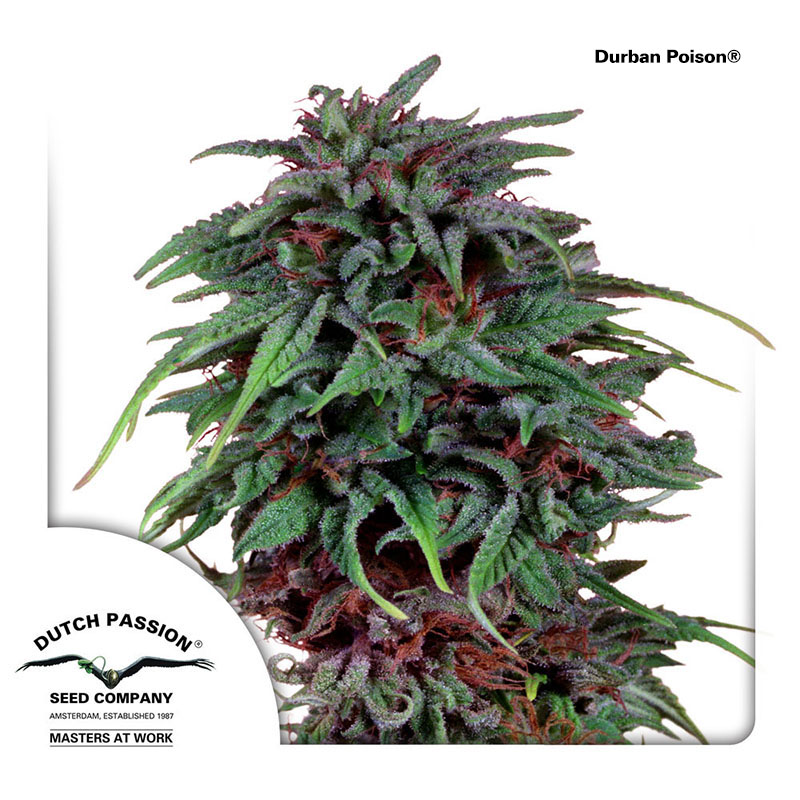 Durban Poison - Dutch Passion