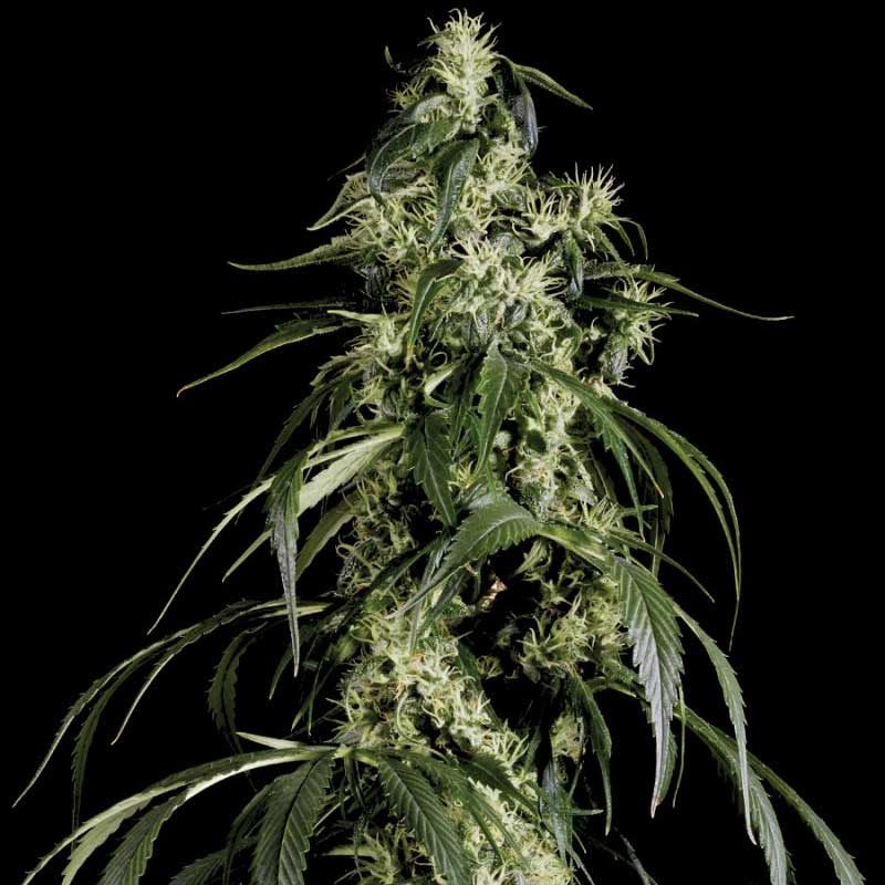 Arjans Haze #1 - Green House Seeds